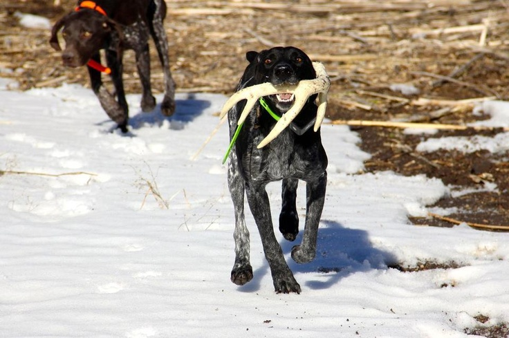 Shed Hunting German Shorthaired Pointer From Standing