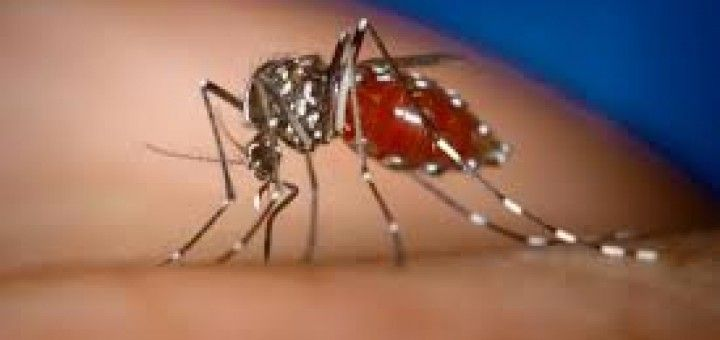 Prevention of dengue and malaria by vaccinating mosquitoes - Malaria parasites and dengue virus reside in the guts of mosquitoes and they enter into human body through a blood-sucking bite. Recently, scientists have found a way to make mosquitoes less hospitable to these pathogens by introducing killer microbes in mosquito's gut to wipe out the invaders before they transmit. Click through to read more