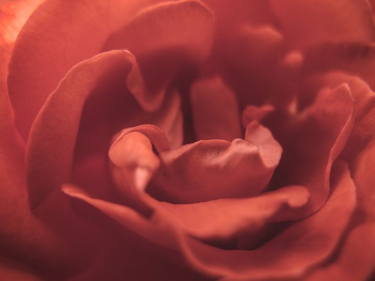 Free image of Red Rose Blossom Detail. Download and use it wherever you want! No…