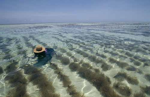 A Zanzibar Island woman cultivating seaweed in the Indian Ocean. National Geogra…