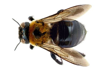 Learn About Carpenter Bees   Carpenter Bee Identification   Hulett ...