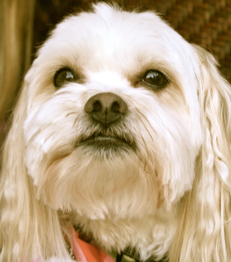 llasa apso maltese bently is a lhatese maltese lhasa apso mix my favorite 888