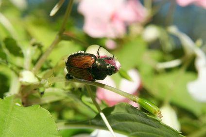Natural Way to Kill Japanese Beetles