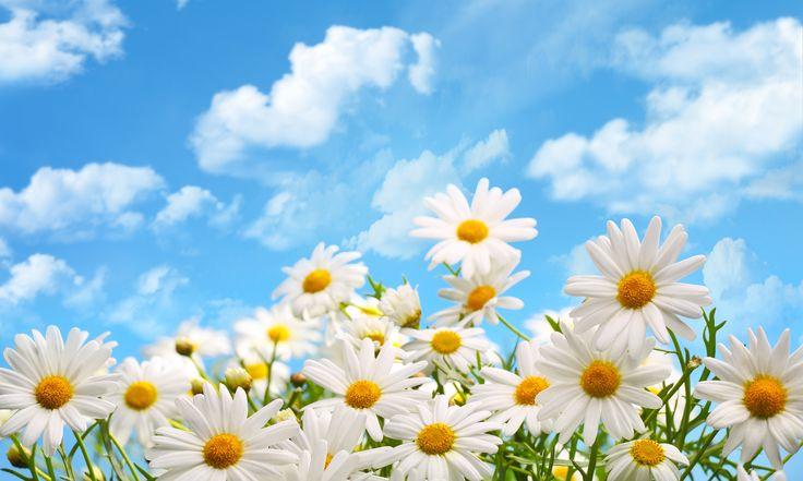 Скачать обои облака, цветы, природа, ромашки, раздел цветы в разрешении 5760x3453