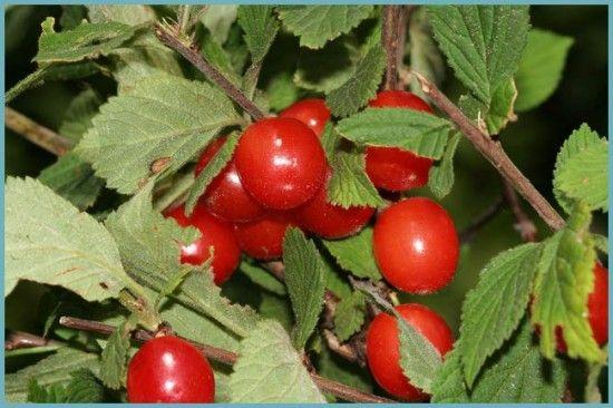Войлочная вишня: посадка, уход и размножение