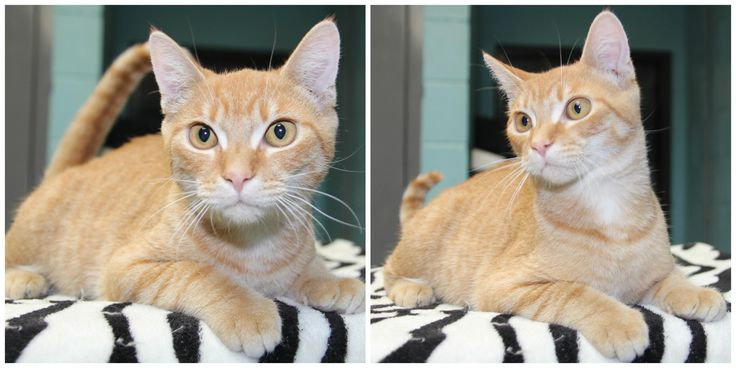 Meet Peyton, an adoptable Tiger looking for a forever home. If you're looking for a new pet to adopt or want information on how to get involved with adoptable pets, Petfinder.com is a great resource.