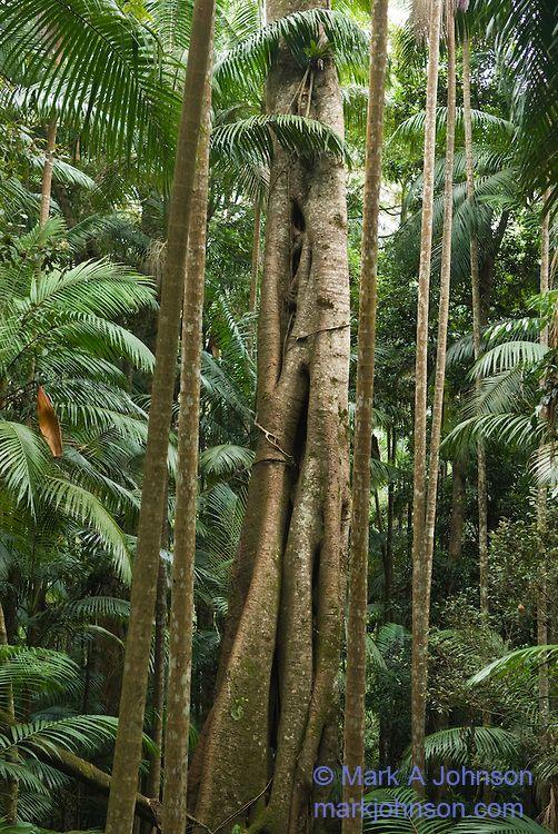 Sub-tropical rain forest, Mt. Tamborine National Park, Queensland, Australia . Photo: Mark A. Johnson / markjohnson.com