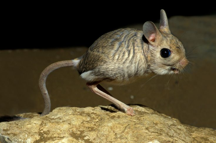The Gobi Jerboa is a species of rodents found only in the deserts of China and Mongolia. Description from earthporm.com. I searched…