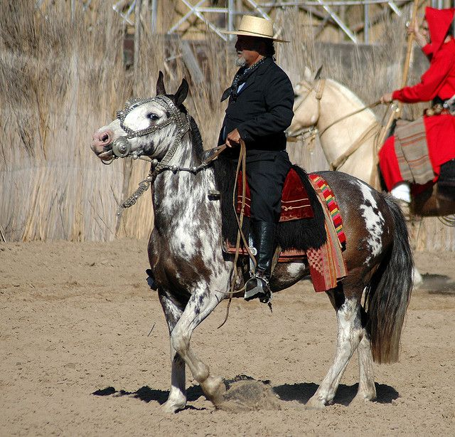 sabino paint Criollo (Argentina) horse