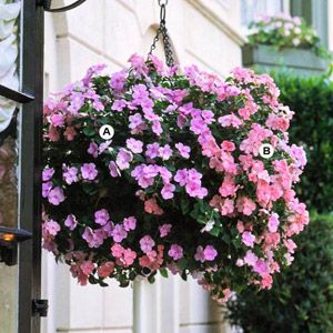 The first time I visited Oregon I saw these huge petunia flower baskets along every street, hanging from every post. They were so beautiful, colorful, full, & fragrant I have tried to create them every summer. I cannot wait to go back this summer and see all the different colors they use