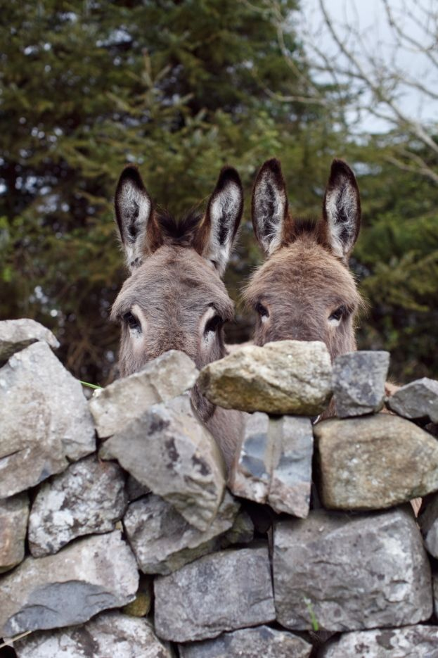 I rather fancy a couple of these rascals over the wall at the cottage. They look as though they would appreciate a visitor with a few carrots.