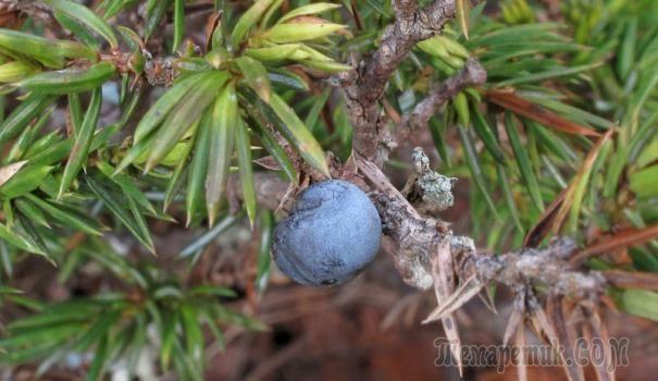 Казалось бы, можжевельник — одно из самых беспроблемных хвойных растений в саду, но, оказывается, и у него есть свои недуги. Иногда, особенно после зимы, на можжевельнике можно увидеть ветку с бурой х...