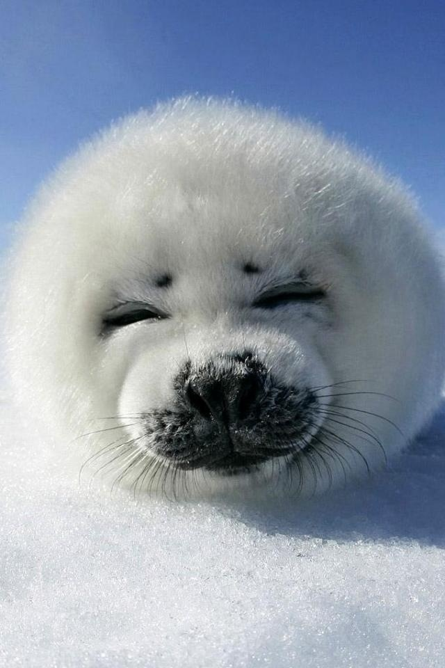 Baby seals just like this one get killed EVERY YEAR by Canada! Stop this slaughter now! -Wildlife Earth on Pinterest.