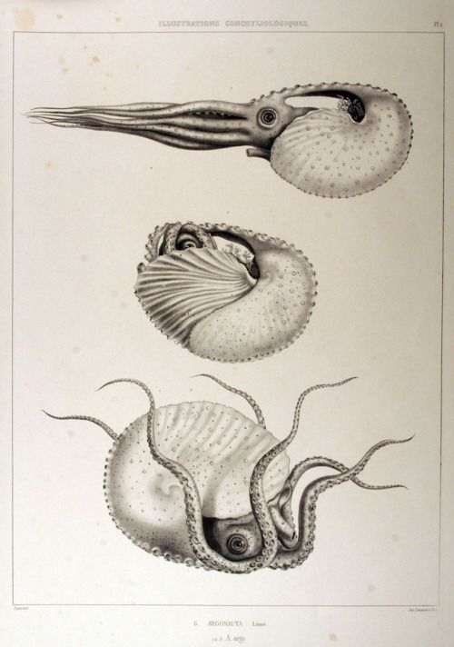 Argonauta argo, also known as the greater argonaut, is a species of pelagic octopus belonging to the genus Argonauta. The female of the species, like all argonauts, creates a paper-thin eggcase that coils around the octopus much like the way a nautilus lives in its shell, hence the name paper nautilus. (via Illustrations conchyliologiques (1842))