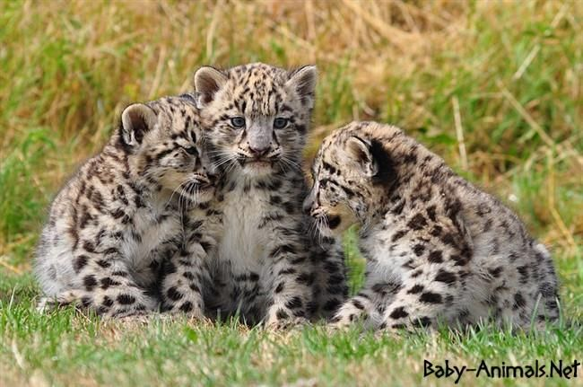 Baby leopard picture