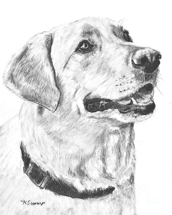 79 best pet art images on pinterest pet art work images and dog art charcoal drawing yellow lab in profile drawing ccuart Choice Image
