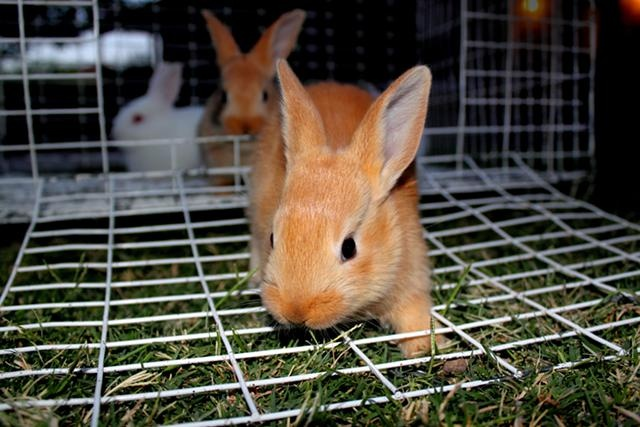 palomino rabbits - photo #5