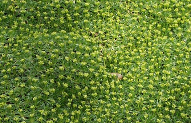 Bild Von Azorella Trifurcata Nana Andenpolster Grabbepflanzung Bodendecker Garten