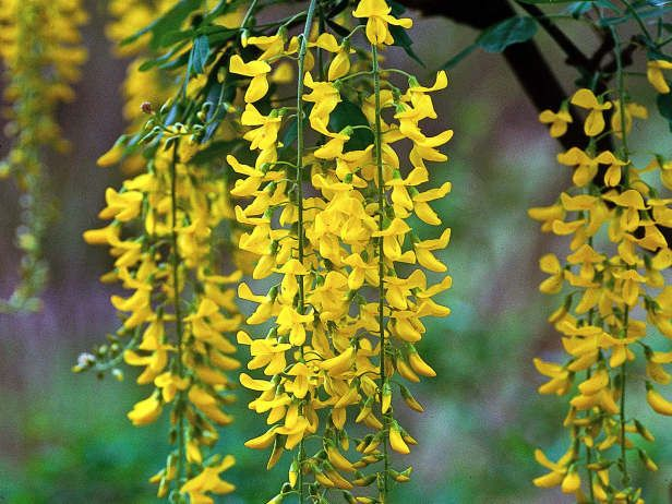 7 best garden plants images on pinterest small trees diy long clusters of yellow pea flowers of the golden chain tree hang from the branches of this tree in spring and early summer thees golden flowers look mightylinksfo