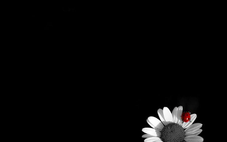 White camomile on black background black and white wallpaper black – Jesse Clark