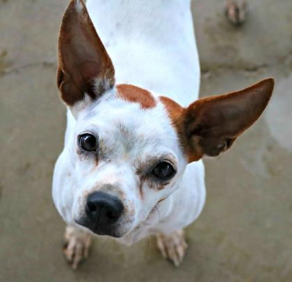 09/17/15-Hi, I'm Sandy! I enjoy long walks on the beach at sunset and the occasional paw-garita. I'm very sweet, playful and I have lots of human friends here. I'm a professional snuggler too! I would prefer to meet any new fur-siblings before going home,...