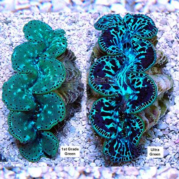 Maxima Clams - Tridacna maxima - giant clams - usually don't grow larger than 20 cm so it is known as the small giant clam. To live, this bivalve has to sunbath! Symbiotic plants in its skin produce nutrients for their host and without these symbiots, the clam would die.