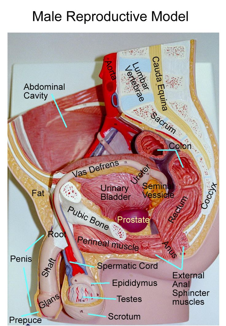 Diagram For Male Urinary System Male Urinary System Manual Guide