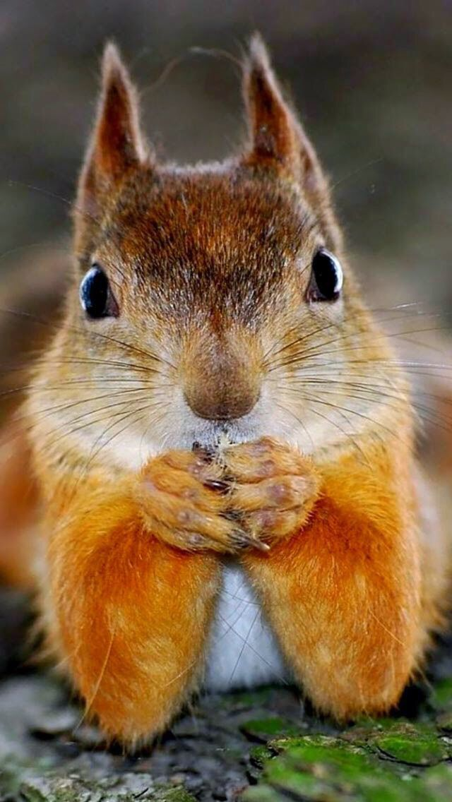 92 best squirrels images on pinterest red squirrel - Funny squirrel backgrounds ...