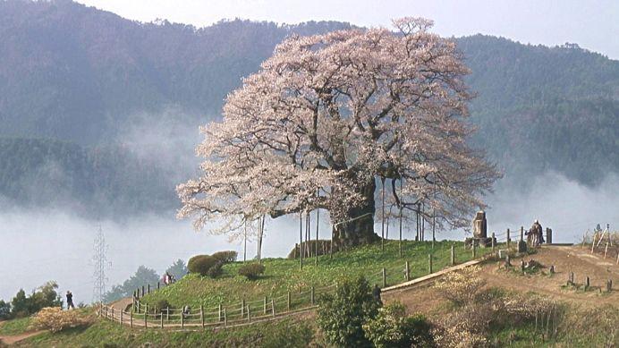 樹齢1000年の一本桜! / 醍醐桜(岡山県真庭市) | 瀬戸内Finder