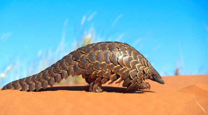 A Pangolin. The only scaled mammal. Also, ADORABLE when it climbs trees