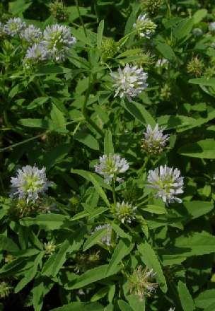 Trigonella caerulea: Blühender Schabzigerklee auch Schabziegerklee  http://gernot-katzers-spice-pages.com/germ/Trig_cae.html#