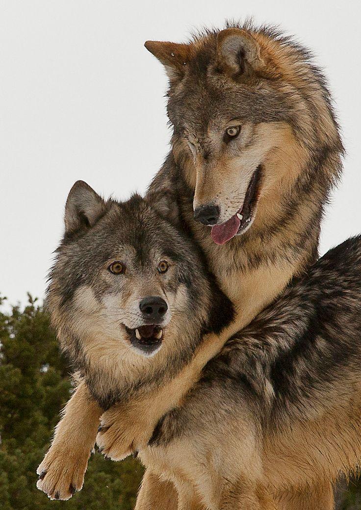 Wolves – Just Good Friends by Tom LittlejohnsAlpha…