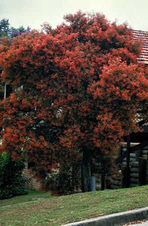 A mature NSW Christmas Bush in full display Photo: Brian Walters