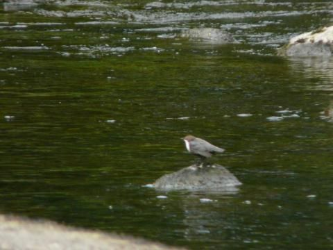 Dipper: Dipping out | Nature Notes from Dorset