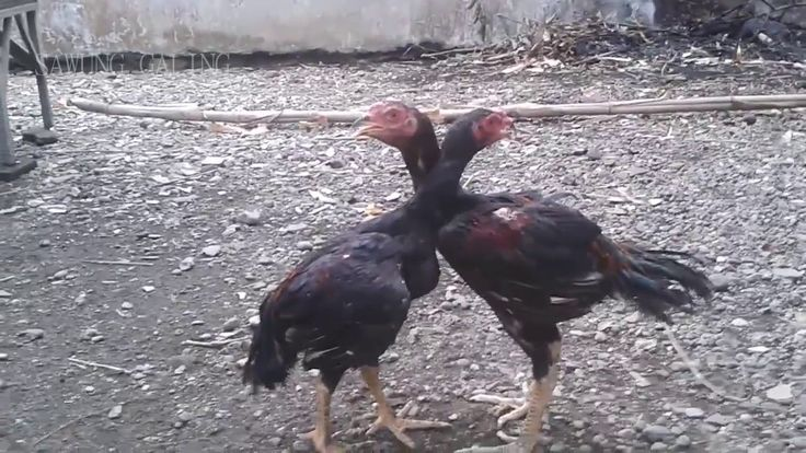 Cara Melatih Ayam Muda Menjadi Ayam Terlatih