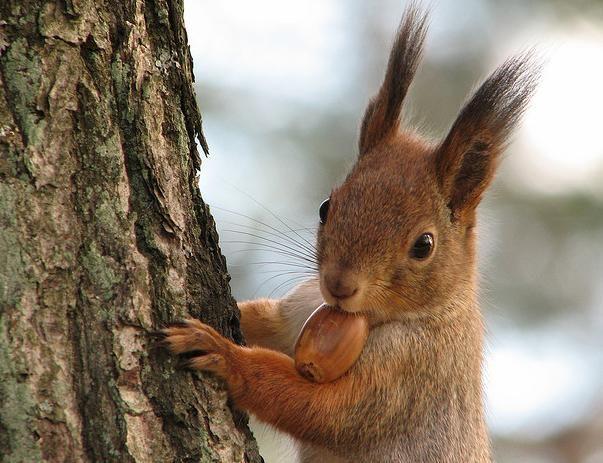 Eikels worden gegeten door veel dieren in het grote dierenbos