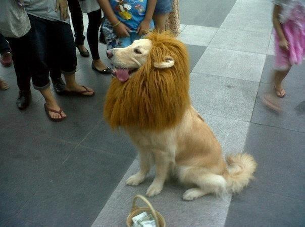 Golden Retriever as lion king