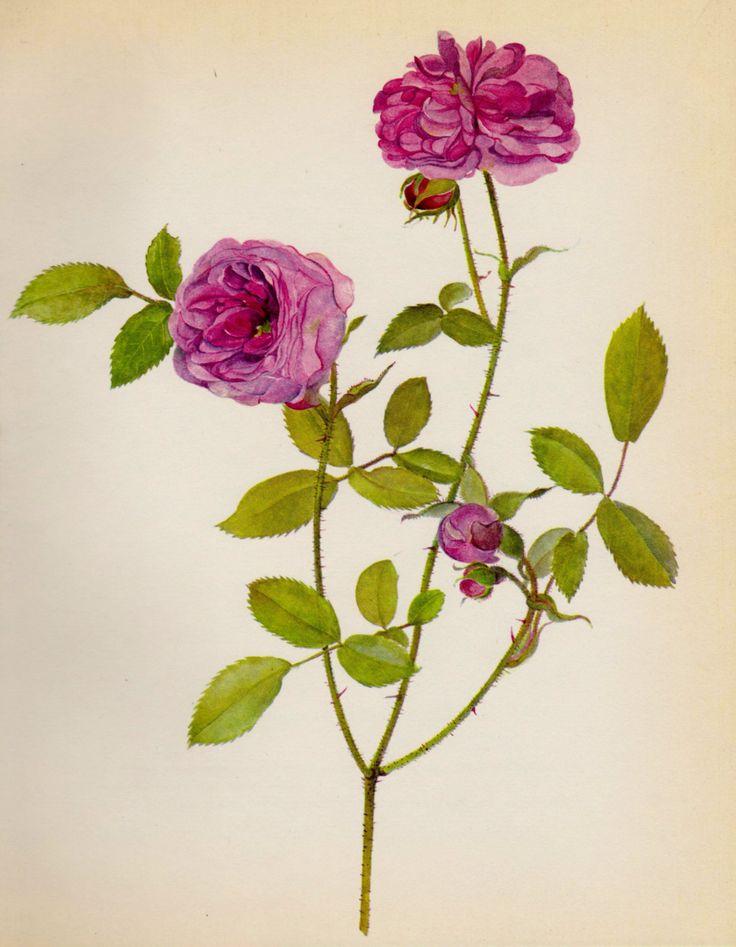Pink Cabbage Rose Botanical Print Gallery Wall Art Cottage Decor Vintage Gift For Gardener Mom Girlfriend 1749