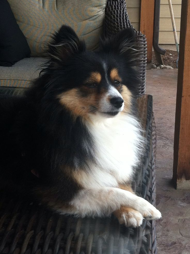 Pomeranian Sheltie Mix Poshie-pomeranian/sheltie mix-