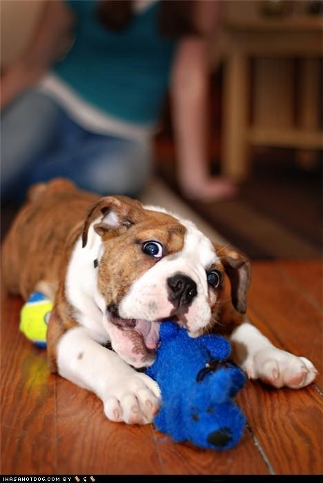 English Bulldog puppy ~ I have you now!