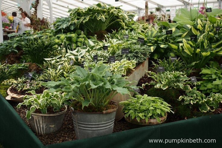 Brookfield Plants were awarded a Gold Medal by the RHS judges for their fantastic Gold Medal winning display of Hostas. You'll find Brookfield Plants inside the Floral Marquee, at the RHS Hampton Court Palace Flower Show 2016.