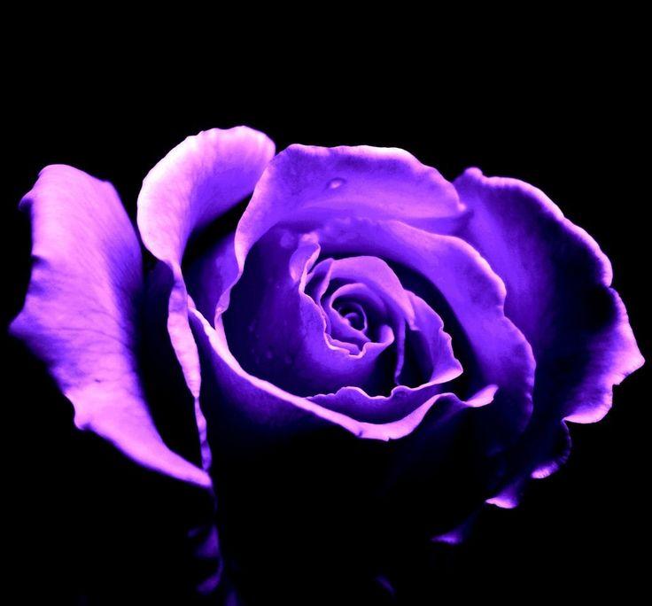 purple rose images hd