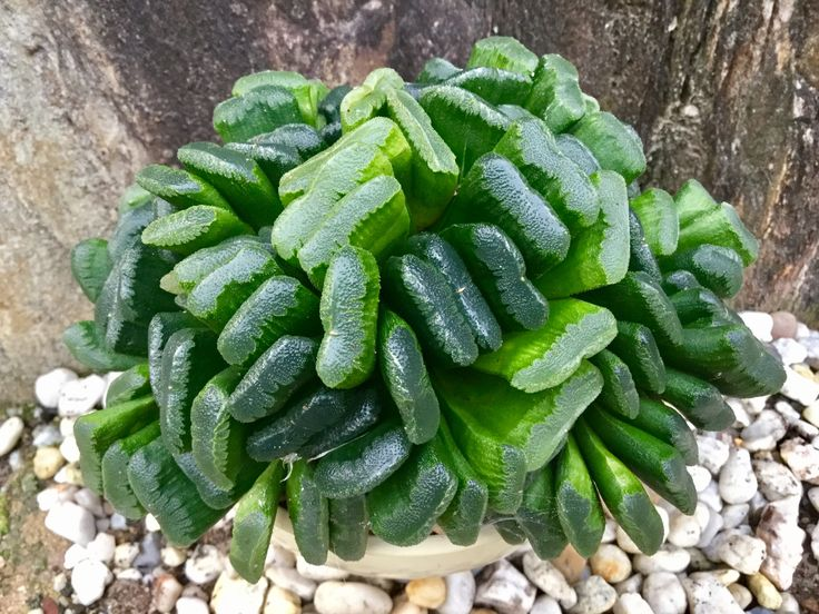 160 best images about haworthia  on pinterest