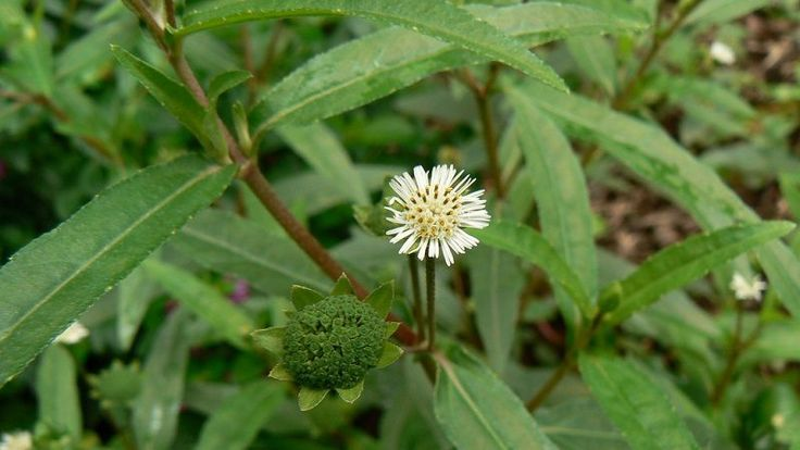 Bhringraj (Eclipta Prostrata or Eclipta Alba) is a famous herb known for its benefits and uses for hair growth and liver disorders. It is also an effective medicine for skin diseases, cough, asthma, eye disorders and disorders related to any part of the head. It improves hair growth, prevents...