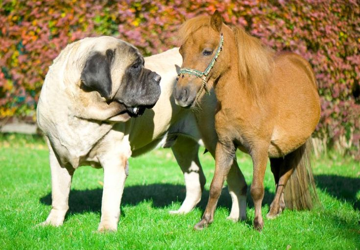 9 of the world's largest dog breeds | MNN - Mother Nature Network
