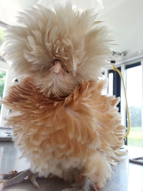 Bantam Buff Lace Polish Frizzle Pullet, we had these crazy looking chickens years ago.