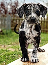 The Louisiana Catahoula Leopard Dog \\  Race Typical of the Louisiana Catahoula Leopard Dog: blue eyes, due to the Merle gene.