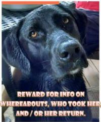 Lost black lab #Baytown #TX 06/12/15  Sadie Grace, 2 year old spayed female black Lab was taken/stolen from Cedar Creek off of FM1413 in Dayton.Please contact 936/258-2411 or cakipp@sbcglobal.net with any information. REWARD