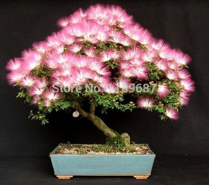 20pcs Albizia Julibrissin Tree Seeds (MIMOSA/PERSIAN SILK TREE) Mini Potted Bonsai Flower ,DIY home Miniature Garden