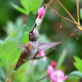 Hummingbird & Bleeding Heart Flower..  Gorgeous!